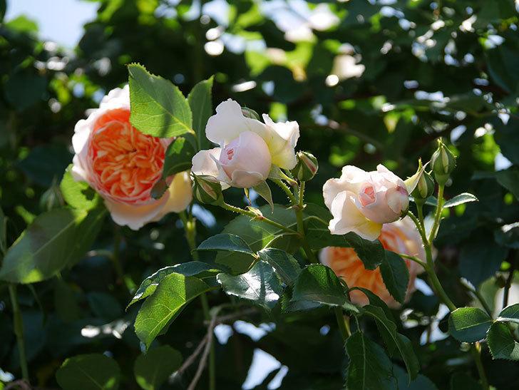 ジンジャー・シラバブ(ツルバラ)の花が増えて来た。2019年-45.jpg