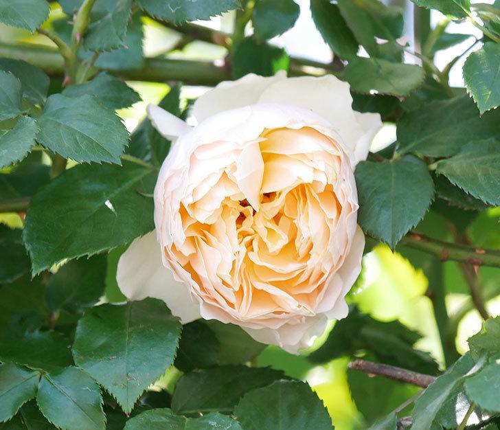 ジンジャー・シラバブ(ツルバラ)の花が増えて来た。2019年-47.jpg