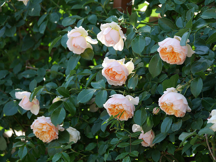 ジンジャー・シラバブ(ツルバラ)の花が増えて来た。2019年-48.jpg