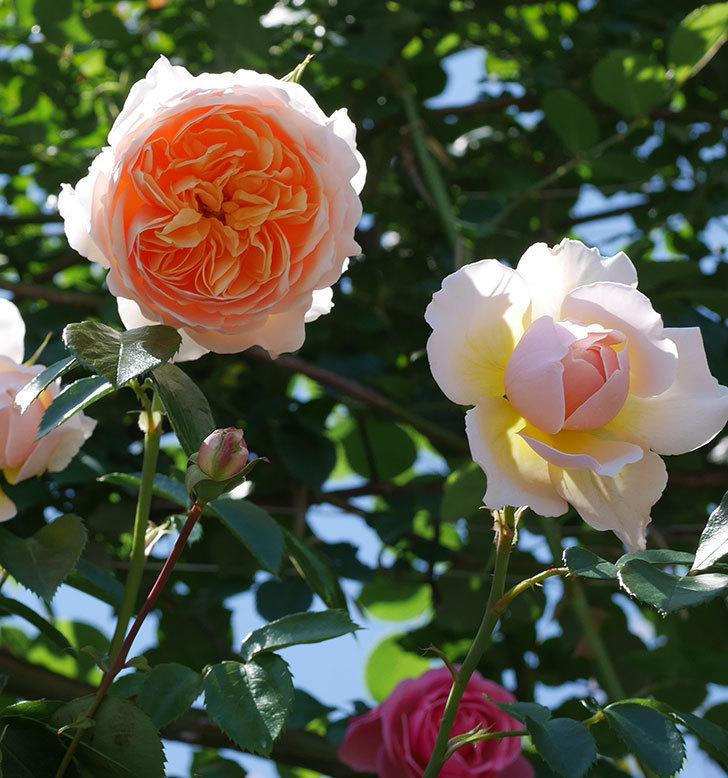 ジンジャー・シラバブ(ツルバラ)の花が増えて来た。2019年-5.jpg