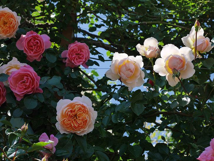 ジンジャー・シラバブ(ツルバラ)の花が増えて来た。2019年-6.jpg
