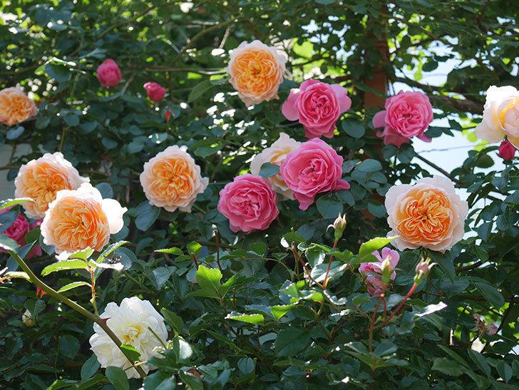 ジンジャー・シラバブ(ツルバラ)の花が増えて来た。2019年-7.jpg
