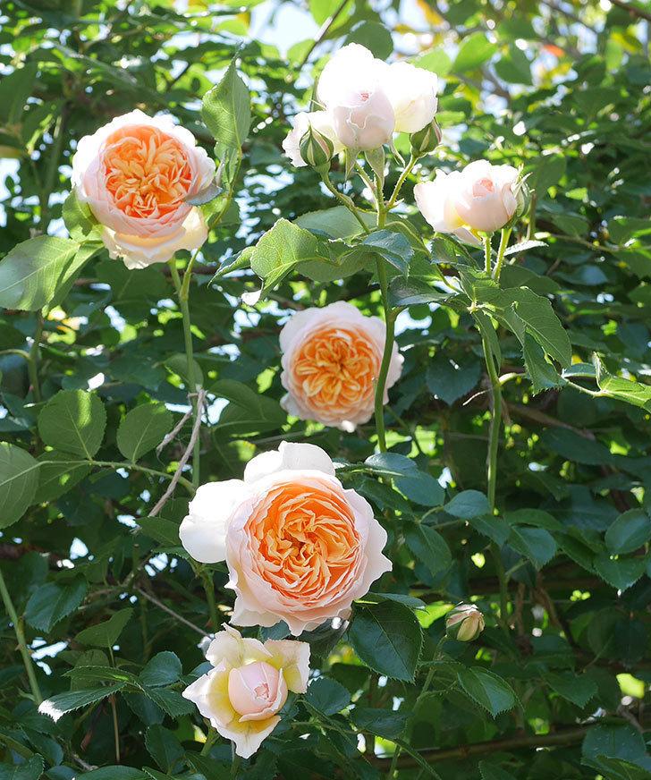 ジンジャー・シラバブ(ツルバラ)の花が増えて来た。2019年-8.jpg