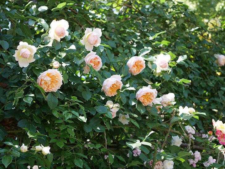 ジンジャー・シラバブ(ツルバラ)の花が増えて来た。2019年-9.jpg
