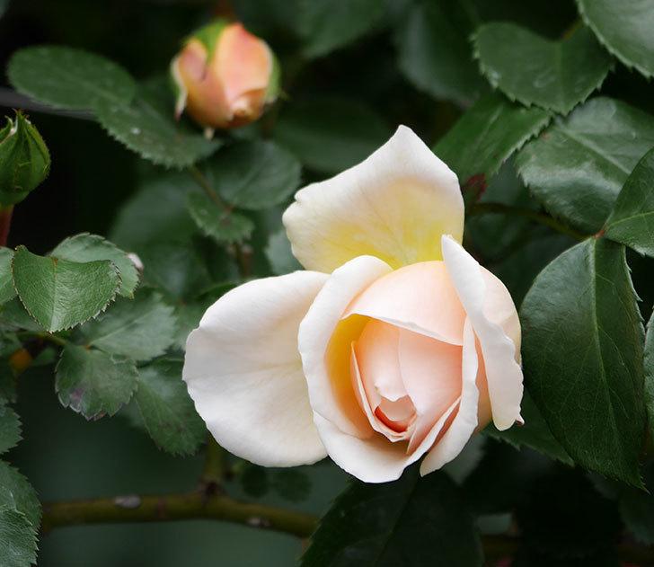 ジンジャー・シラバブ(ツルバラ)の花が少し咲いた。2019年-1.jpg