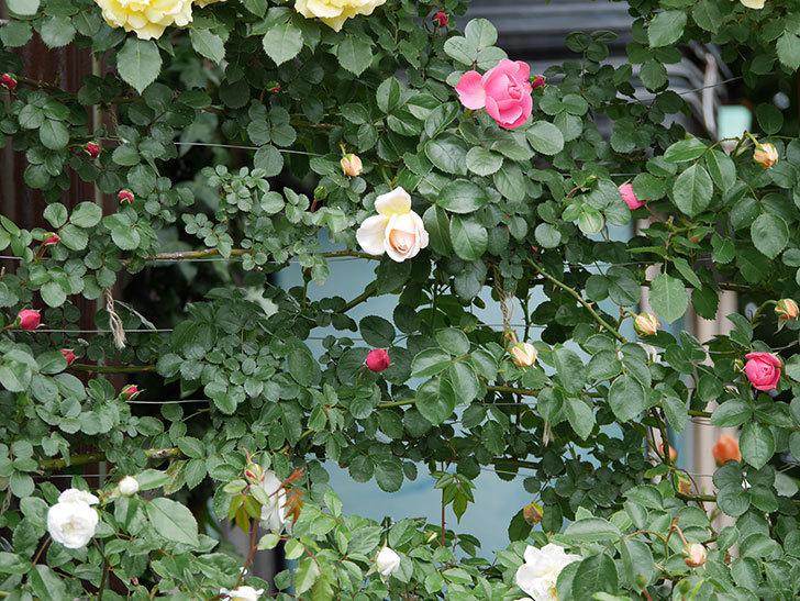 ジンジャー・シラバブ(ツルバラ)の花が少し咲いた。2019年-2.jpg