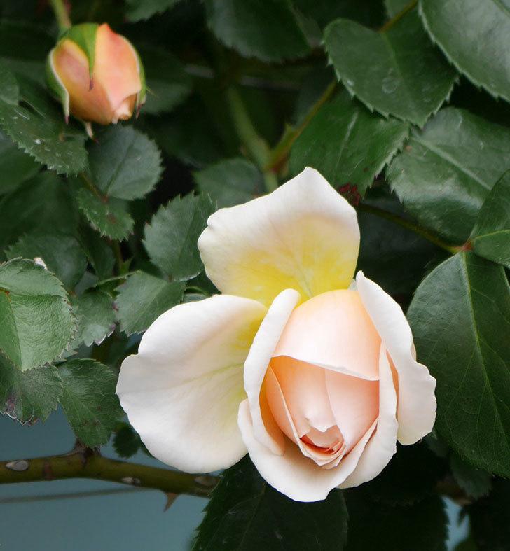 ジンジャー・シラバブ(ツルバラ)の花が少し咲いた。2019年-3.jpg