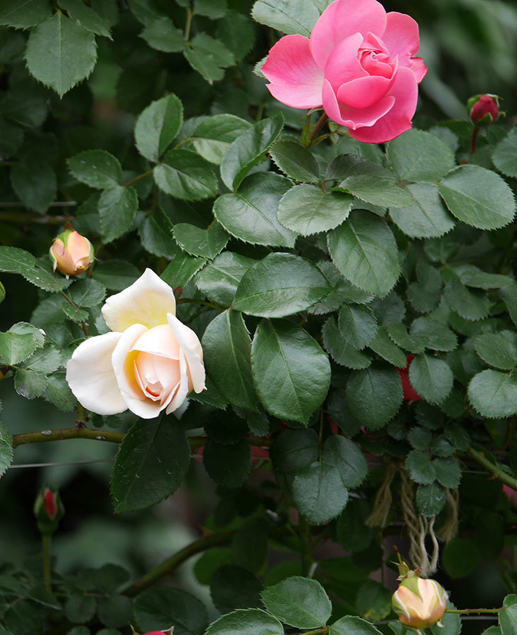 ジンジャー・シラバブ(ツルバラ)の花が少し咲いた。2019年-4.jpg