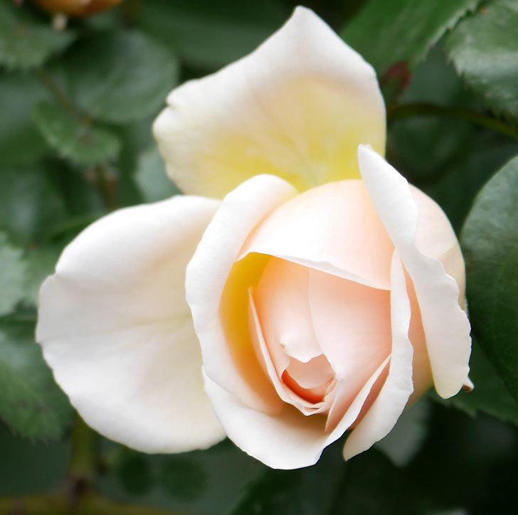 ジンジャー・シラバブ(ツルバラ)の花が少し咲いた。2019年-5.jpg
