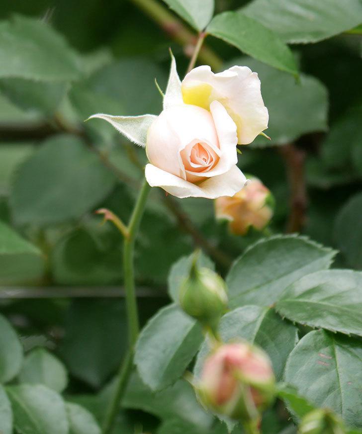 ジンジャー・シラバブ(ツルバラ)の花が少し咲いた。2019年-6.jpg
