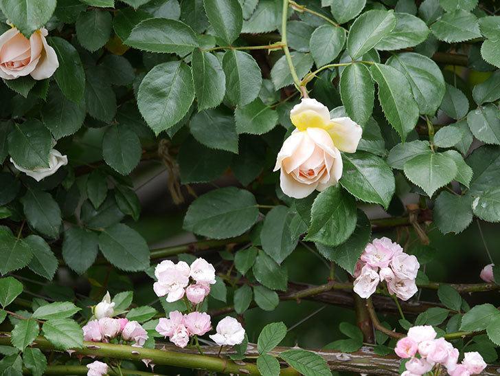 ジンジャー・シラバブ(ツルバラ)の花が少し咲いた。2019年-7.jpg