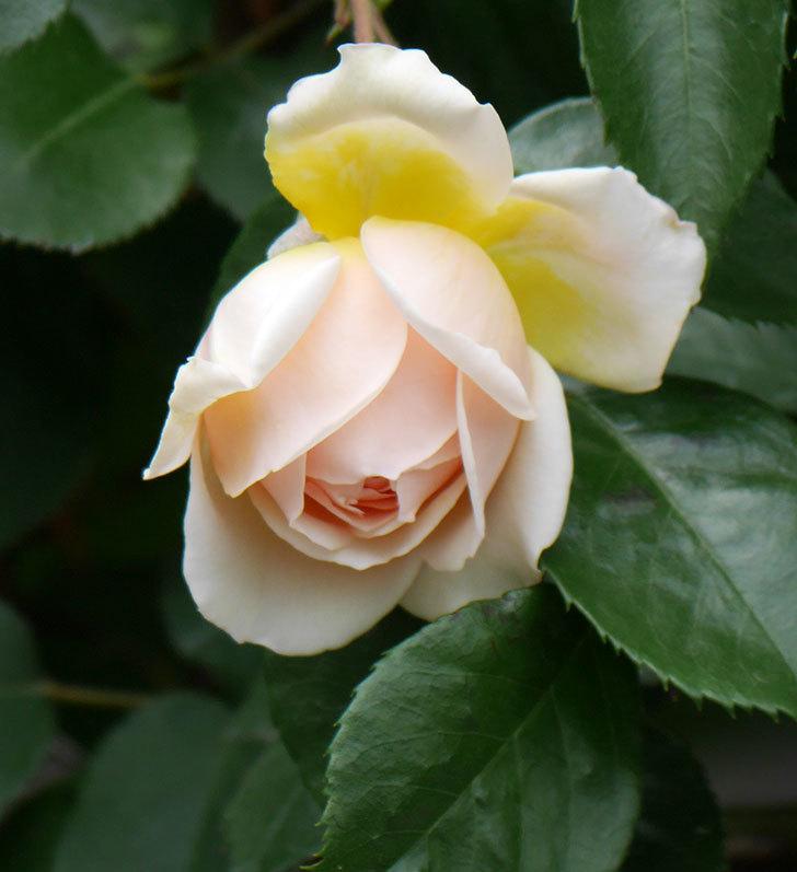 ジンジャー・シラバブ(ツルバラ)の花が少し咲いた。2019年-8.jpg