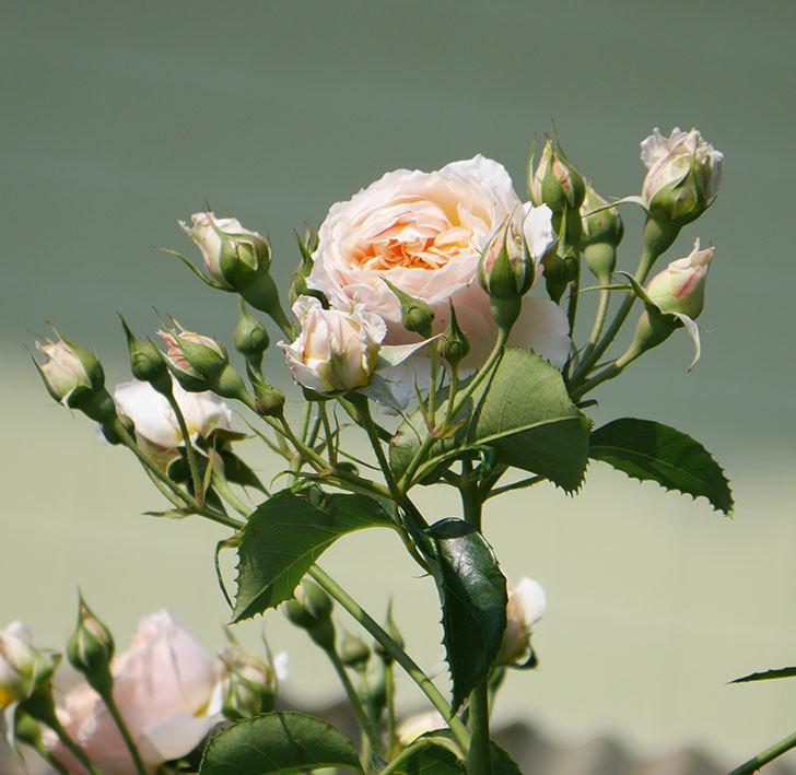ジンジャー・シラバブ(ツルバラ)の花が満開になった。2019年-10.jpg