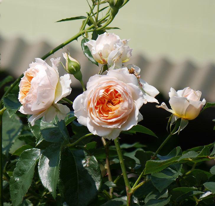 ジンジャー・シラバブ(ツルバラ)の花が満開になった。2019年-11.jpg