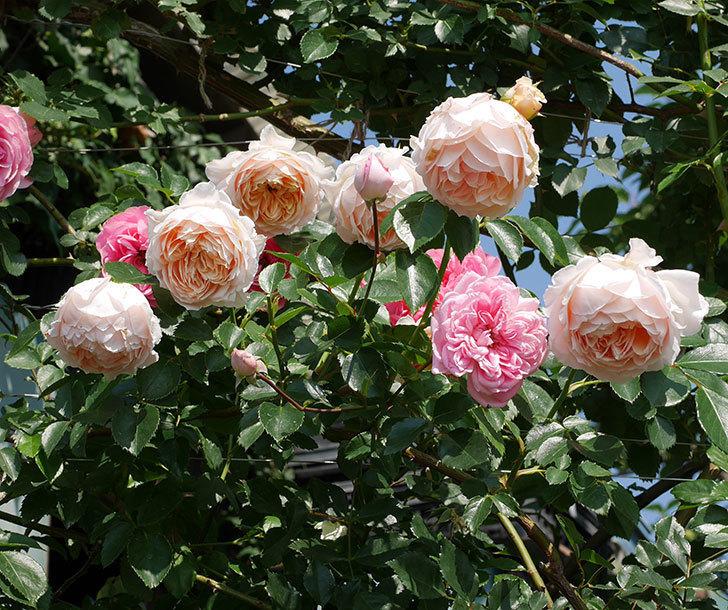 ジンジャー・シラバブ(ツルバラ)の花が満開になった。2019年-12.jpg