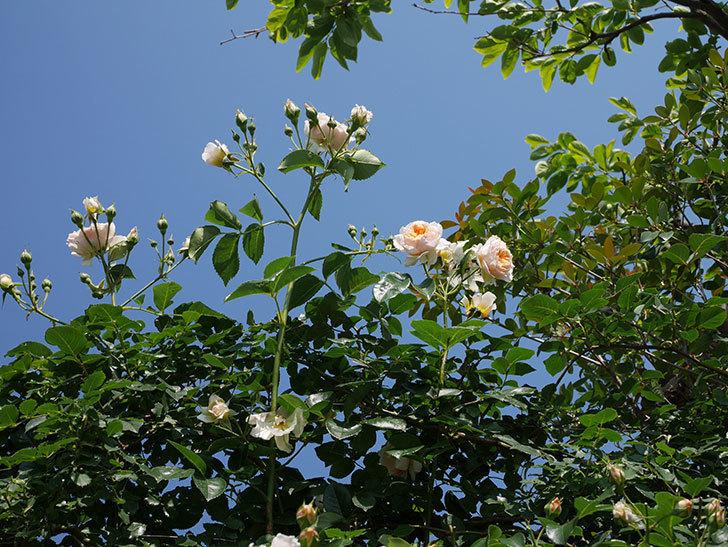 ジンジャー・シラバブ(ツルバラ)の花が満開になった。2019年-13.jpg