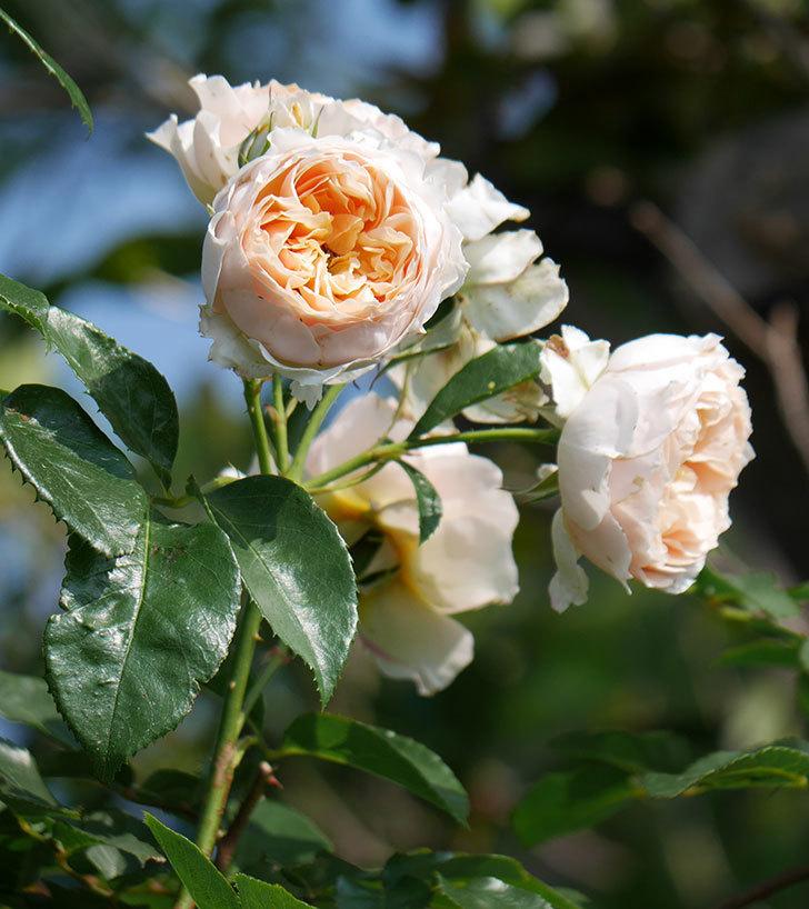 ジンジャー・シラバブ(ツルバラ)の花が満開になった。2019年-14.jpg