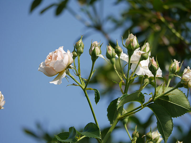ジンジャー・シラバブ(ツルバラ)の花が満開になった。2019年-15.jpg