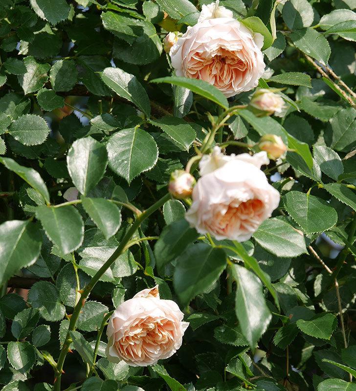 ジンジャー・シラバブ(ツルバラ)の花が満開になった。2019年-16.jpg