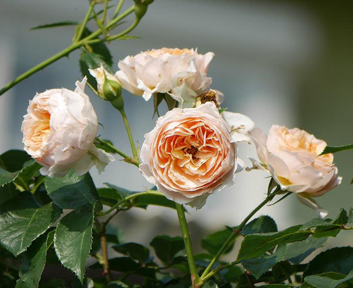 ジンジャー・シラバブ(ツルバラ)の花が満開になった。2019年-17.jpg