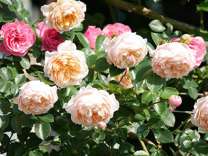 ジンジャー・シラバブ(ツルバラ)の花が満開になった。2019年-19.jpg