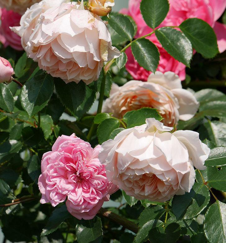 ジンジャー・シラバブ(ツルバラ)の花が満開になった。2019年-2.jpg