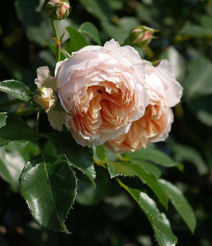 ジンジャー・シラバブ(ツルバラ)の花が満開になった。2019年-20.jpg