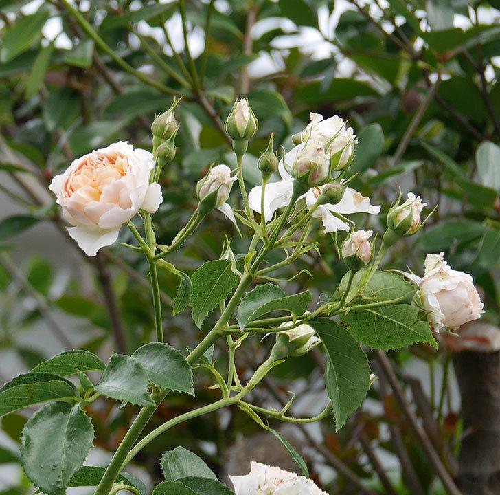 ジンジャー・シラバブ(ツルバラ)の花が満開になった。2019年-21.jpg