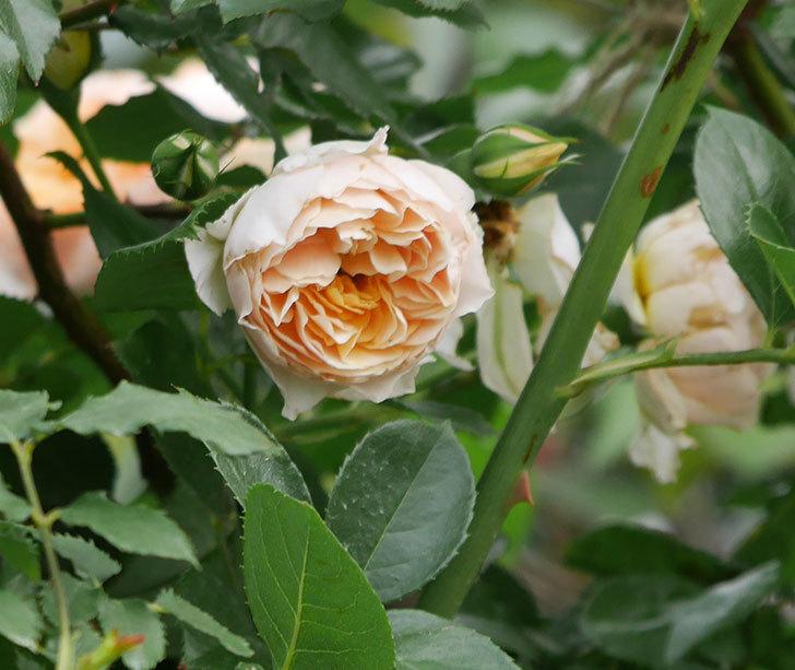 ジンジャー・シラバブ(ツルバラ)の花が満開になった。2019年-22.jpg