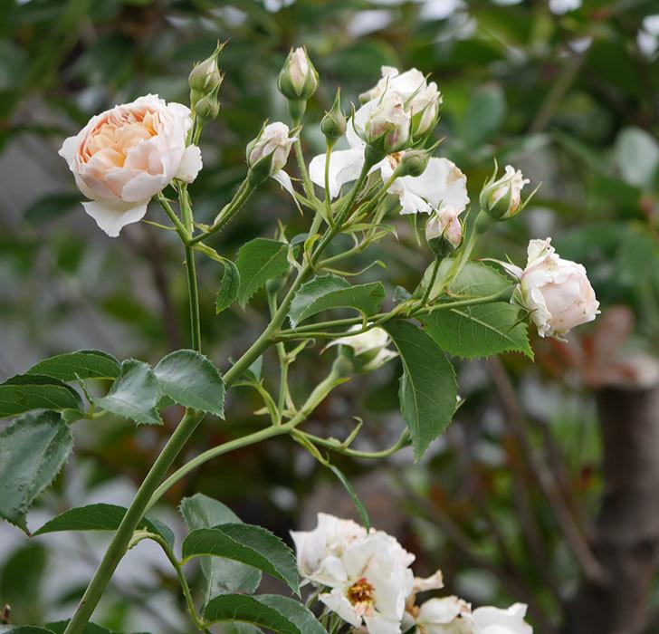 ジンジャー・シラバブ(ツルバラ)の花が満開になった。2019年-23.jpg
