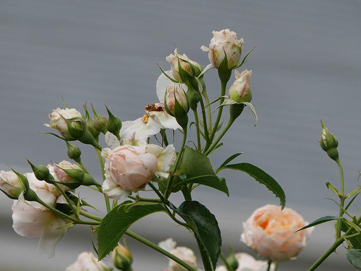ジンジャー・シラバブ(ツルバラ)の花が満開になった。2019年-24.jpg