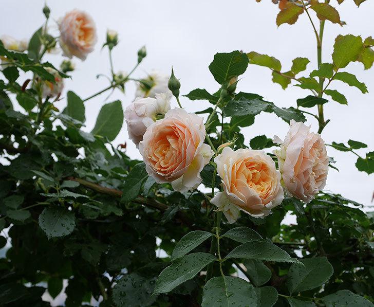 ジンジャー・シラバブ(ツルバラ)の花が満開になった。2019年-25.jpg