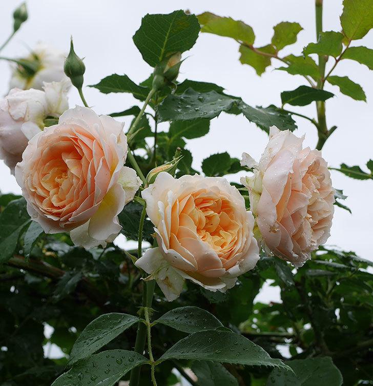 ジンジャー・シラバブ(ツルバラ)の花が満開になった。2019年-26.jpg