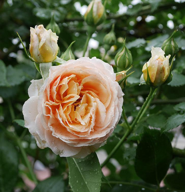 ジンジャー・シラバブ(ツルバラ)の花が満開になった。2019年-27.jpg