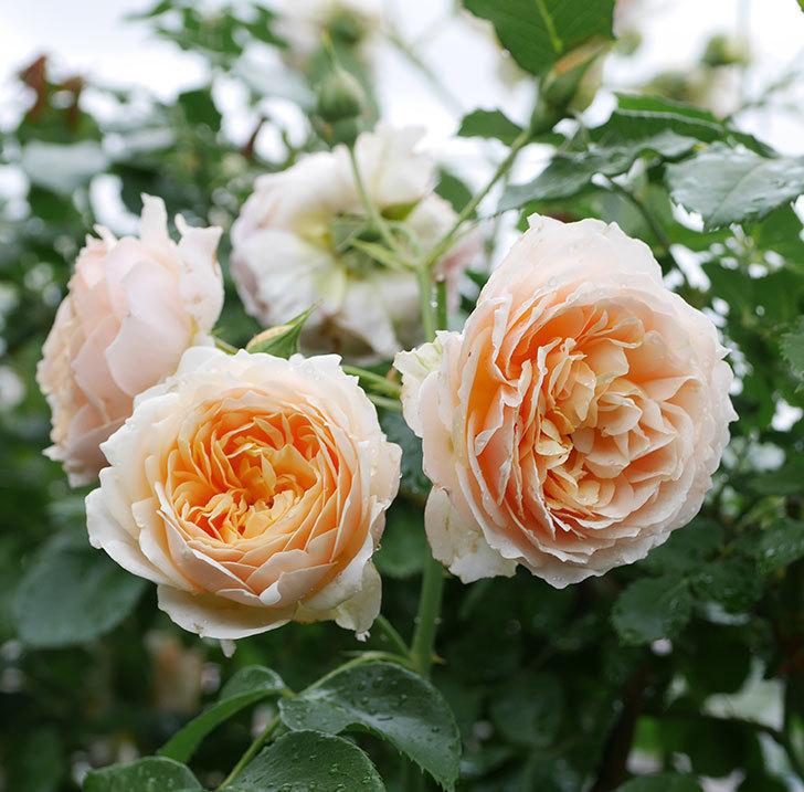 ジンジャー・シラバブ(ツルバラ)の花が満開になった。2019年-28.jpg
