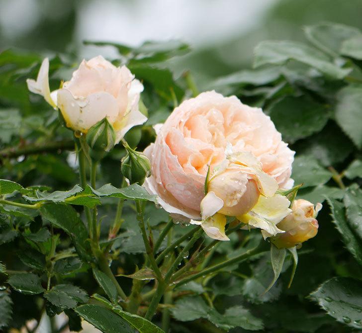 ジンジャー・シラバブ(ツルバラ)の花が満開になった。2019年-29.jpg