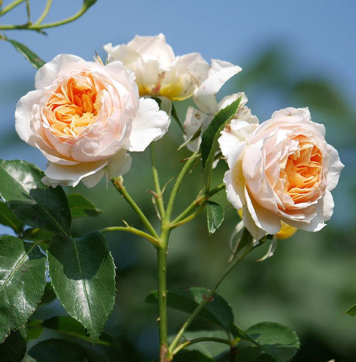 ジンジャー・シラバブ(ツルバラ)の花が満開になった。2019年-3.jpg