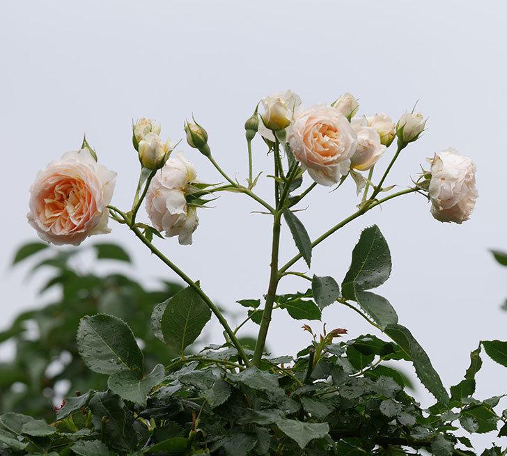 ジンジャー・シラバブ(ツルバラ)の花が満開になった。2019年-30.jpg