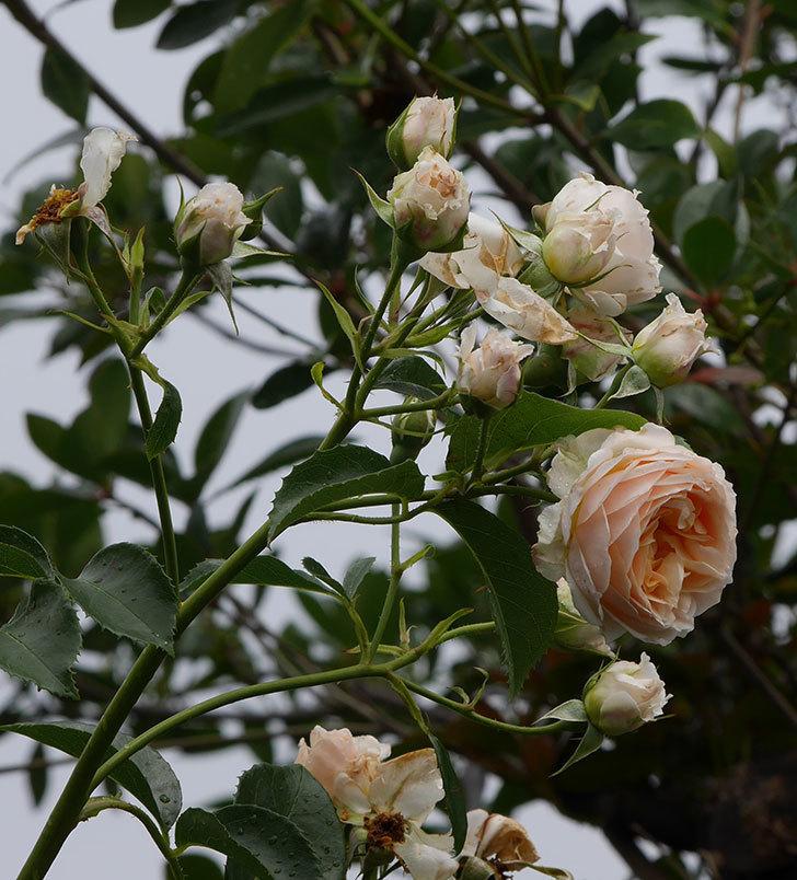 ジンジャー・シラバブ(ツルバラ)の花が満開になった。2019年-31.jpg