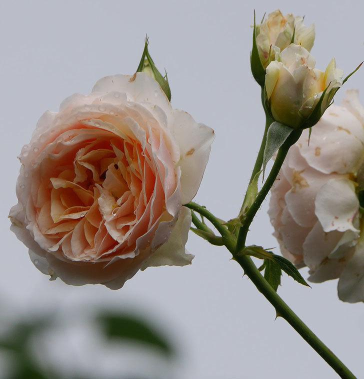 ジンジャー・シラバブ(ツルバラ)の花が満開になった。2019年-32.jpg