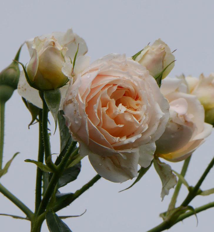 ジンジャー・シラバブ(ツルバラ)の花が満開になった。2019年-33.jpg