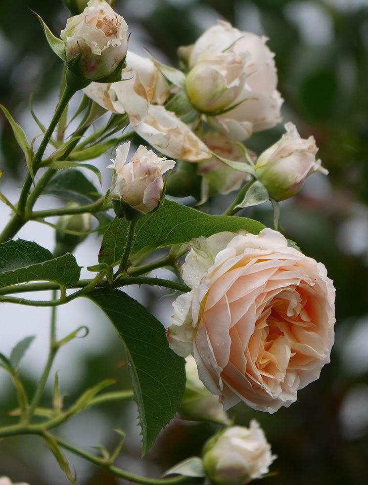 ジンジャー・シラバブ(ツルバラ)の花が満開になった。2019年-34.jpg
