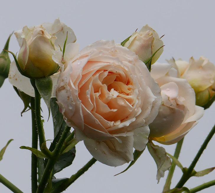 ジンジャー・シラバブ(ツルバラ)の花が満開になった。2019年-35.jpg