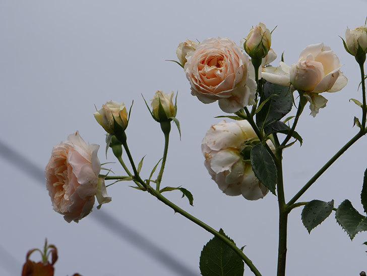 ジンジャー・シラバブ(ツルバラ)の花が満開になった。2019年-36.jpg