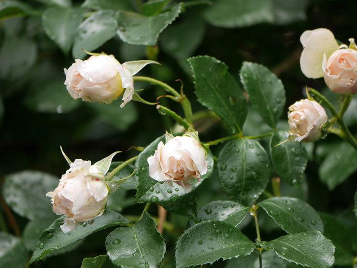 ジンジャー・シラバブ(ツルバラ)の花が満開になった。2019年-37.jpg