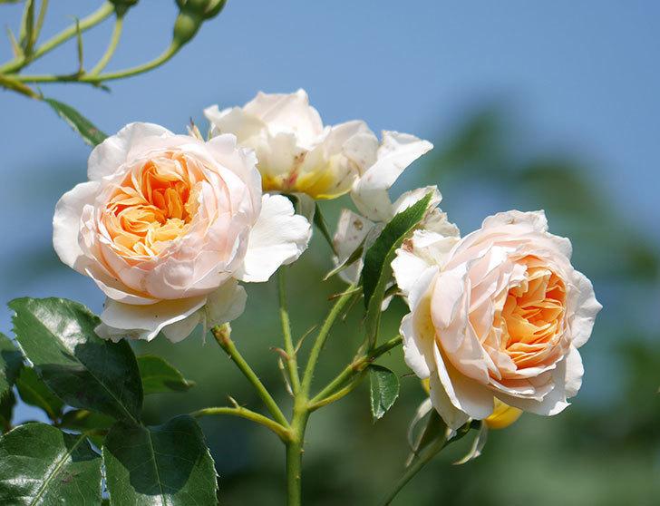 ジンジャー・シラバブ(ツルバラ)の花が満開になった。2019年-4.jpg