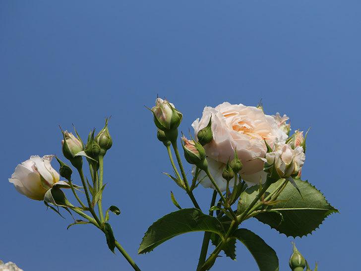 ジンジャー・シラバブ(ツルバラ)の花が満開になった。2019年-5.jpg