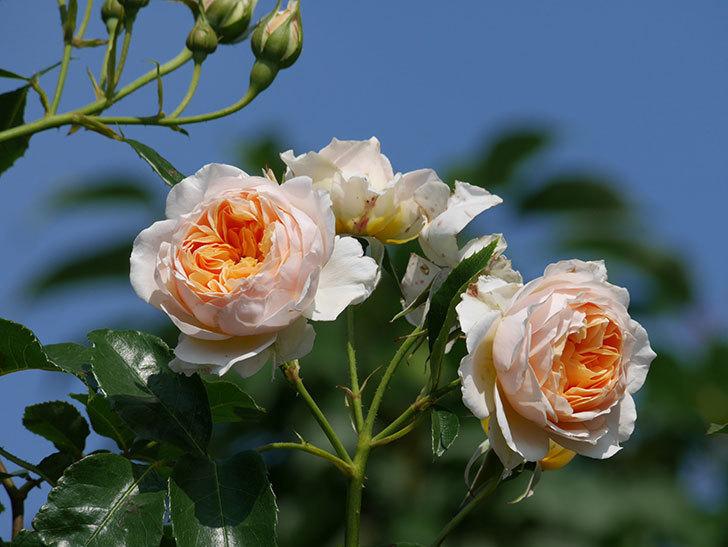 ジンジャー・シラバブ(ツルバラ)の花が満開になった。2019年-6.jpg