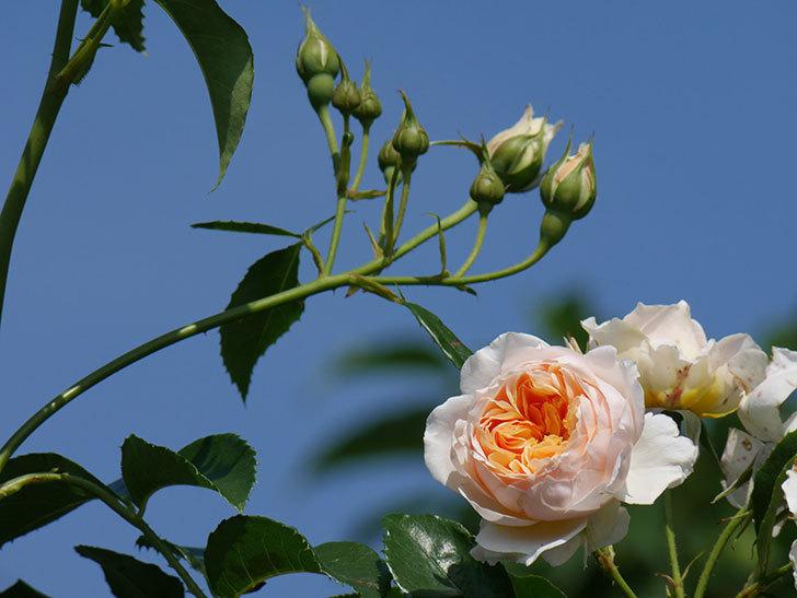 ジンジャー・シラバブ(ツルバラ)の花が満開になった。2019年-7.jpg