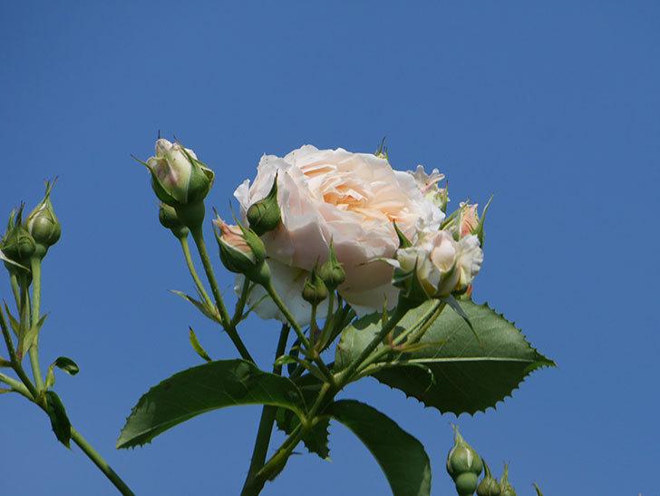 ジンジャー・シラバブ(ツルバラ)の花が満開になった。2019年-8.jpg